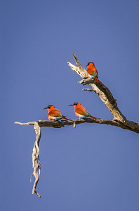 Scarlet Bee Eaters