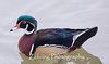 "The Creator had a ""field day"" when He designed the male wood duck!"