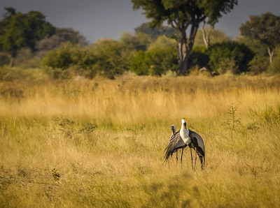 White Cranes Preening