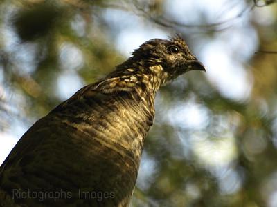 Partridge In A Spruce Tree