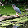 It's Me and My Shadow  Green Heron