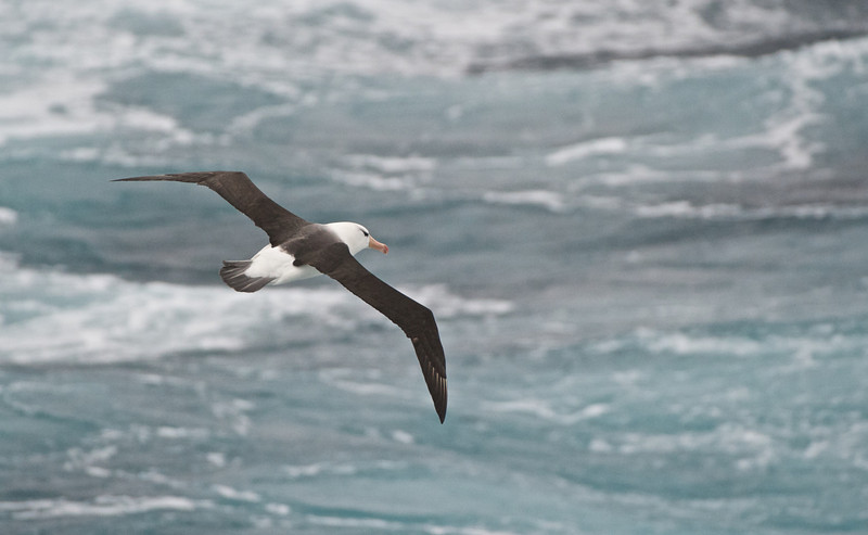 Black-browed Albatross, Antarctica