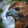 Red Tail Hawk  #1