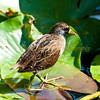 Sora Rail Leaf Walker
