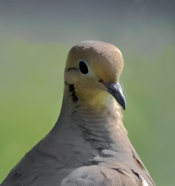 White Winged Dove - Close Up