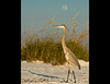 A Great Blue Heron notes that it is a full moon tonight at 9:30 on January 25, 2013.  Lido Key, Florida.