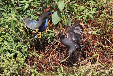 Purple Gallinule with Common Moorhen.