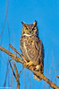 Great Horned Owl at Colusa 2-12 #2