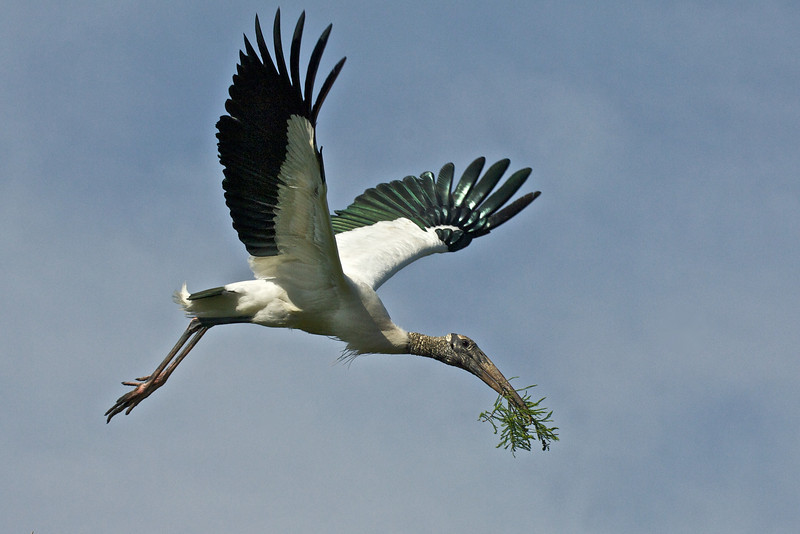 Wood Stork, Orlando, Florida