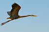 Blue Heron Takeoff