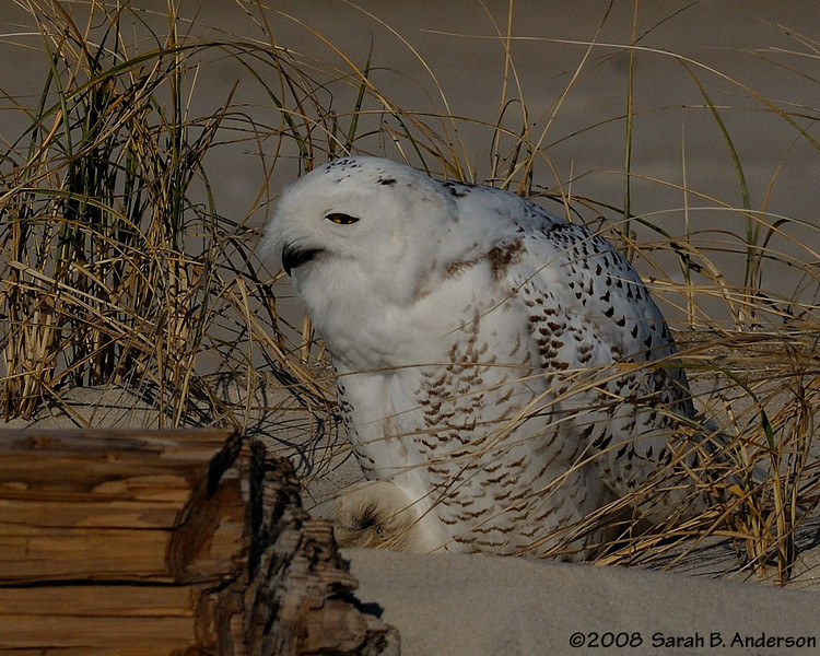 Snowy Owl settling down after grooming.<br /> Assateague Island National Seashore, Maryland<br /> December 2008