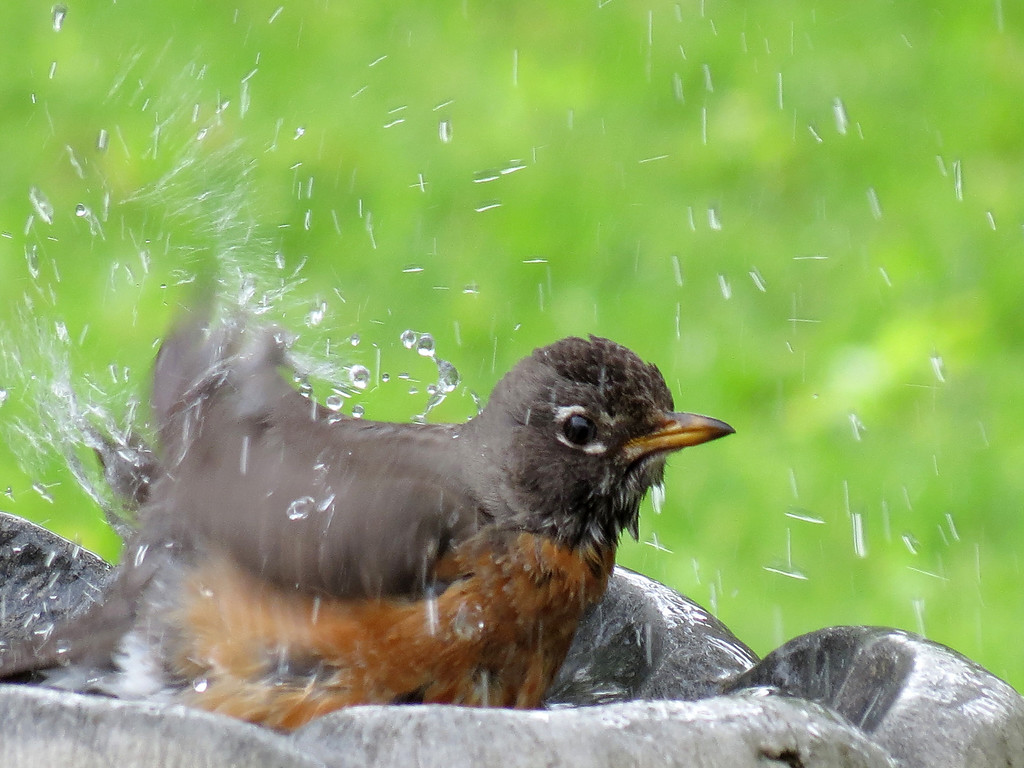Robin bathing.