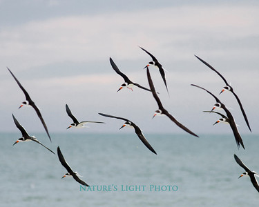 Black Skimmers in Flight 3-7008