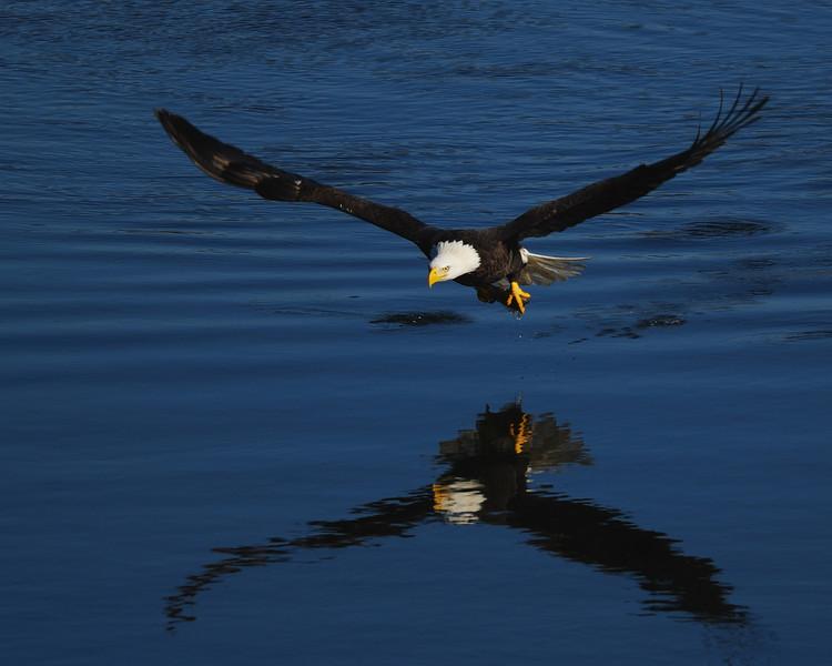 Bald Eagle<br /> near Conowingo Dam<br /> Susquehanna River, Maryland<br /> November 2008