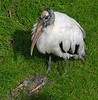 Wood Stork 'sitting' down - Homosassa Wildlife Park - Feb 4, 2010