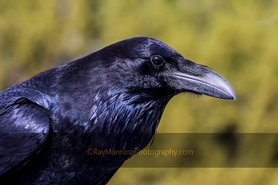 Portrait of a Raven
