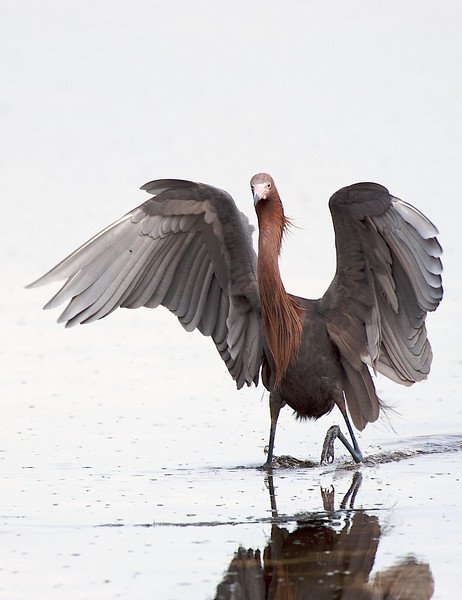 Reddish Egret, Ding Darling National Wildlife Refuge, Florida