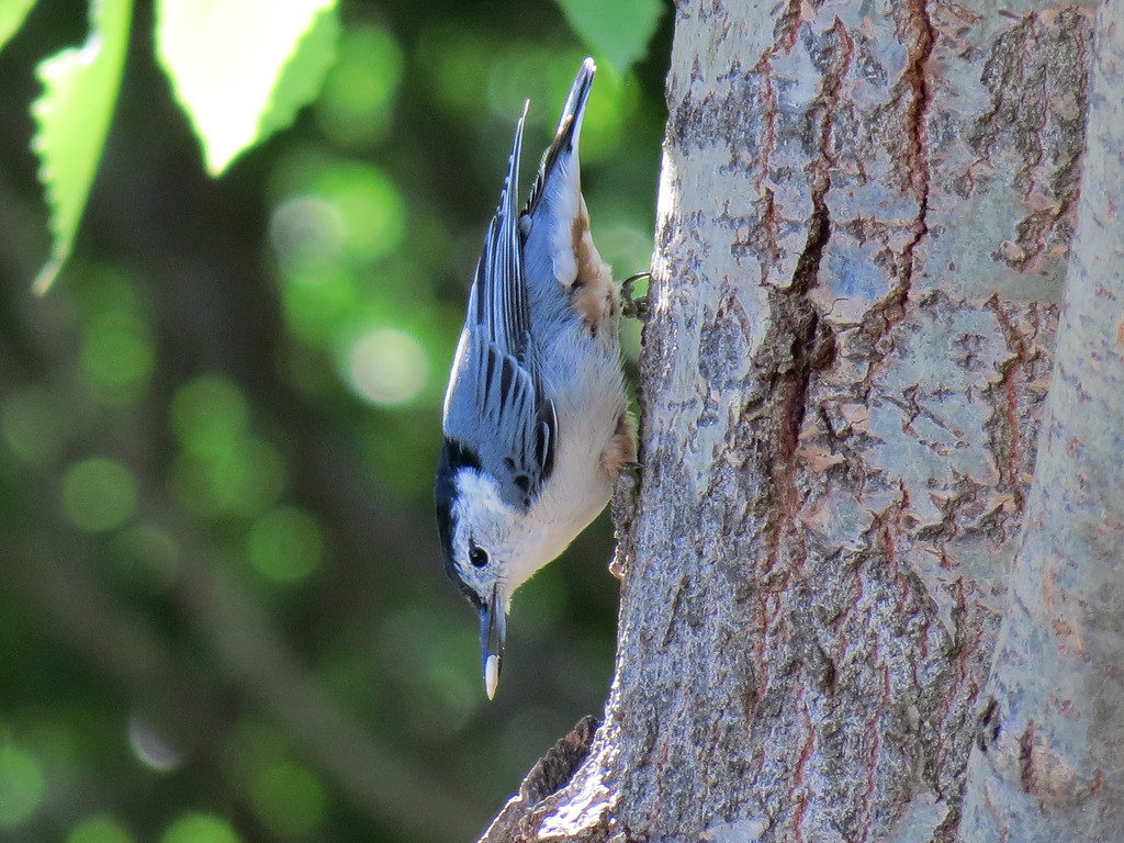 Nuthatch holding a sunflower seed.<br /> These birds take one sunflower seed at a time <br /> and place it on the tree in such a way that they can<br /> break it open to get the sunflower kernel out.