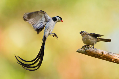 Courting Pin-tailed Whydahs