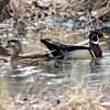 Wood Ducks on Guard
