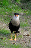 Crested Caracara - Homosassa Wildlife Park - Feb 4, 2010