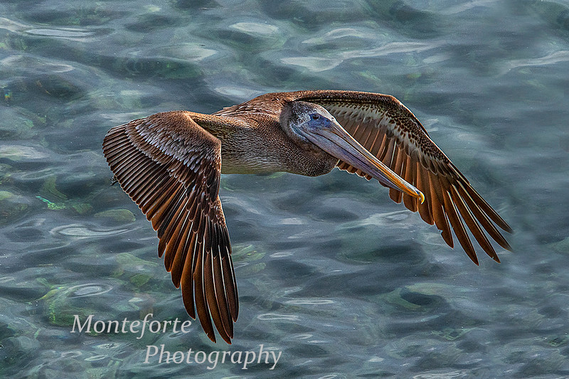 Brown pelican Pelecanus occidentalis