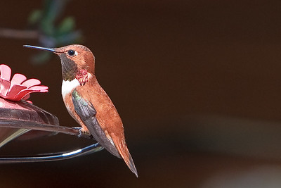hummingbirds 033