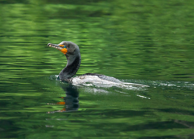 Double-crested Cormorant, Edward Ball Wakulla Springs State Park, Florida