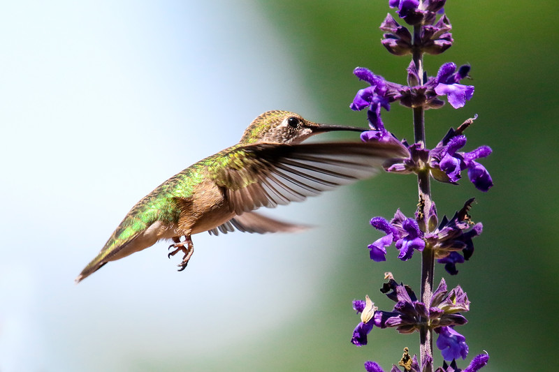 Hummingbird on Mystic Spires Salvia 1
