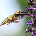 Hummingbird on Mystic Spires Salvia 1
