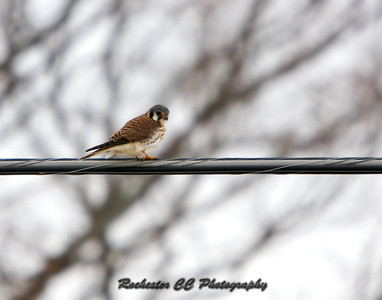 American Kestrel on a wire
