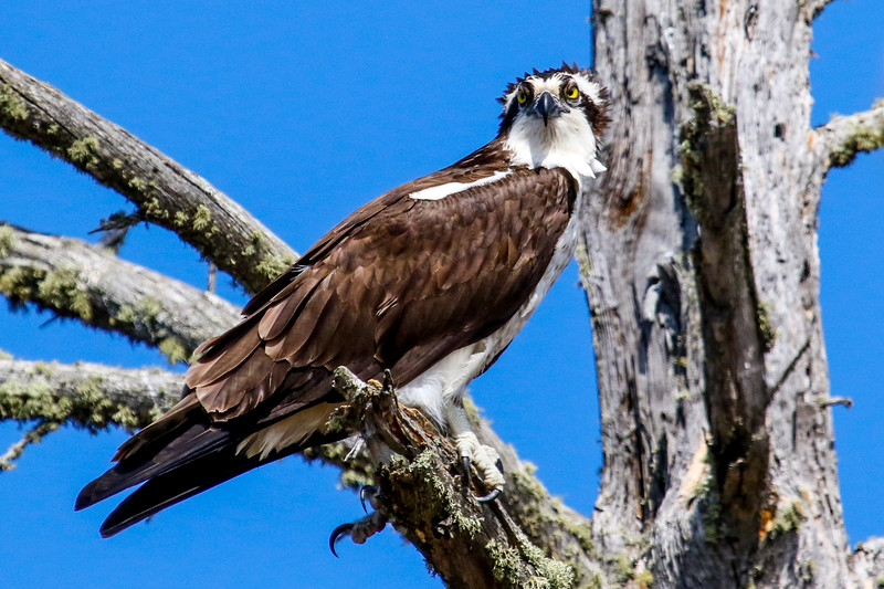Crowned - Osprey