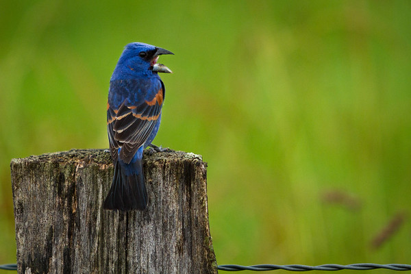 Blue Grosbeak Morning Call