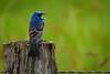Blue Grosbeak Morning Call