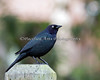 A very handsome Brewer's Blackbird