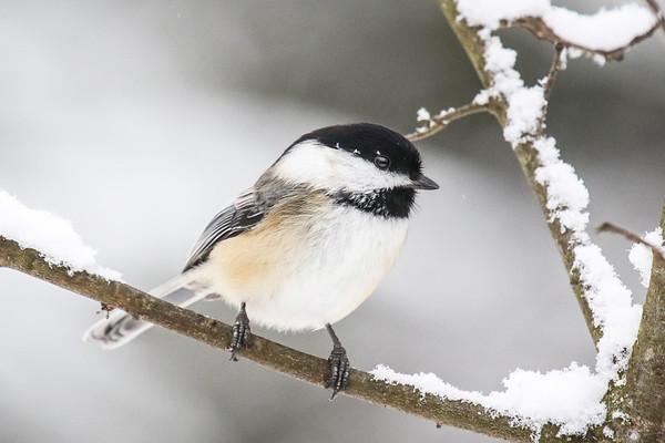 The Chickadees of Winter  4