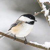 The Chickadees of Winter  4