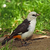 White-Headed Buffalo Weaver at the Wild Animal Park - 11 Apr 2010
