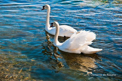 Trumpeter Swans in Lake Ontario,Ontario,Canada