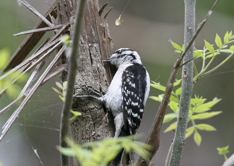 Downy Woodpecker - Picoides pubescens - May 2006