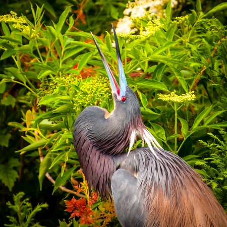 Tricolored Heron Calling for a Mate