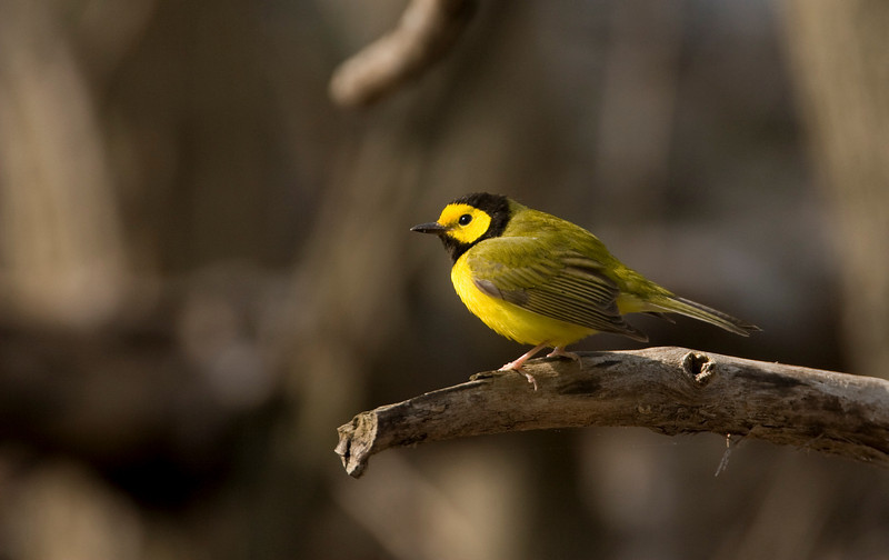 Hooded Warbler - April 2008