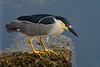 Black-crowned night-heron Nycticorax nycticorax