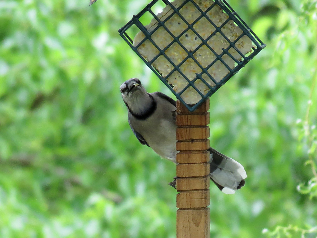 Bluejay eating from the suet feeder.