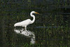 Great Egret with dinner<br /> Hughes Hollow, Montgomery County, Maryland