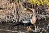 Female Anhinga, Merritt Island