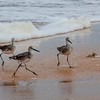 Willets Running From the Sea Foam