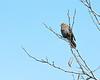 Song Sparrow, Toronto