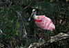 Roseate Spoonbill, St. Augustine, Florida