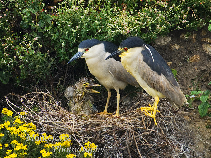 Black crowned Night Herons, Nycticorax nycticorax, with chick on nest, Point Lobos State Park, California